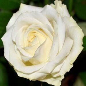 Роза Аваланж