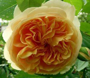 Роза Голден Селебрейшин