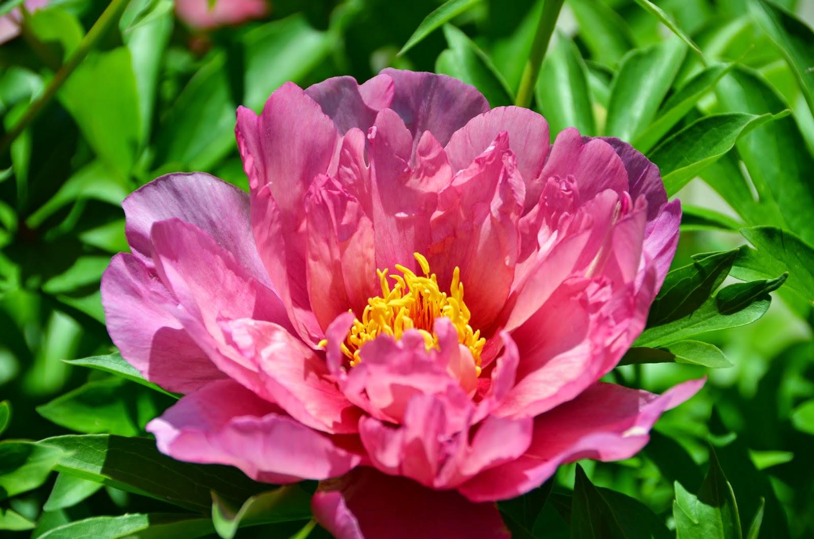Пион Пинк Дабл Молочноцветковый (2)