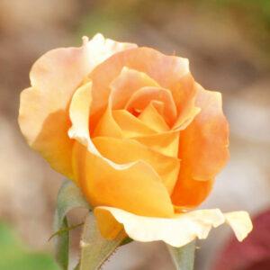 Роза Сара