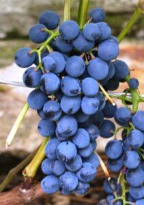 Виноград Магия