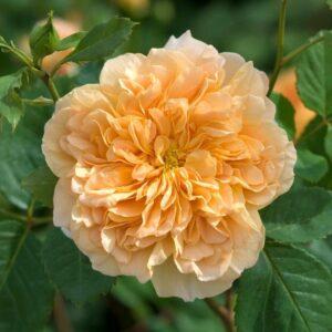 Роза Ти Клиппер