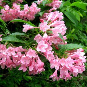 Вейгела цветущая «Розеа»