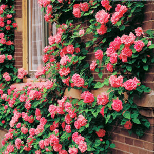 Роза Барби