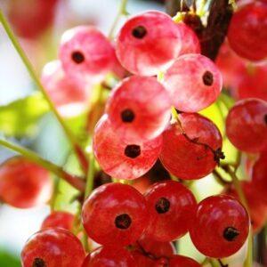 Красная смородина Розовый жемчуг