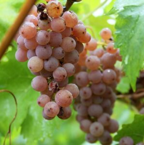 Виноград Черсеги