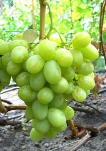 Виноград Валек мускатный