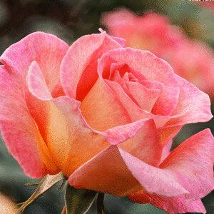 Роза Пинк