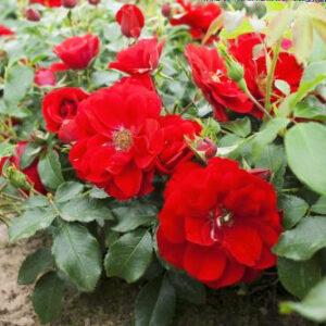 Роза Центро-Розе