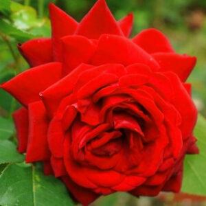 Роза Апопочка