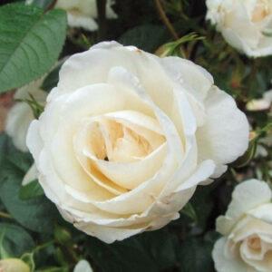 Роза Спрей белый