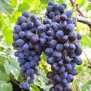 Виноград Мускат днестровский