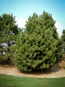 Сосна Чёрная (Pinus Nigra)