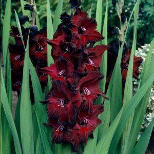 Гладиолус Крупноцветковый Черная звезда