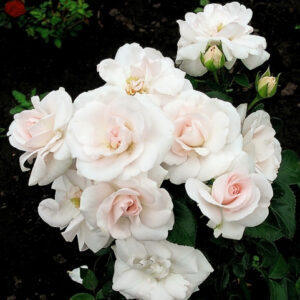 Роза Аспирин
