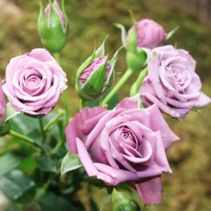 Роза Билона