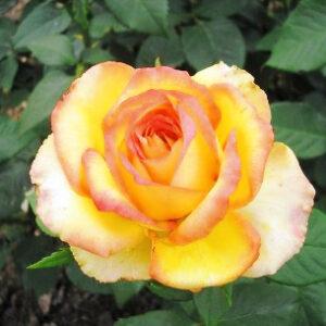 Роза Восходящее Солнце