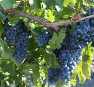 Виноград Рубиновый Магарача