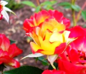 Роза Сонья