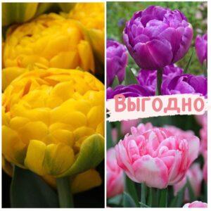Красота в тройной выгоде! Только для любителей тюльпанов!