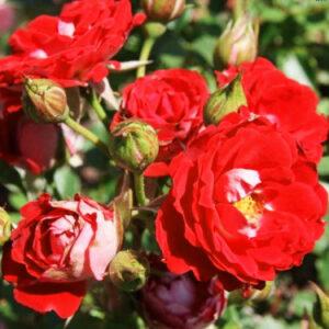 Роза Мейди