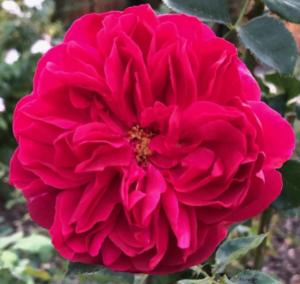 Роза Томас Бакет