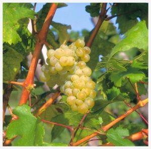 Виноград Фетяска мускатная