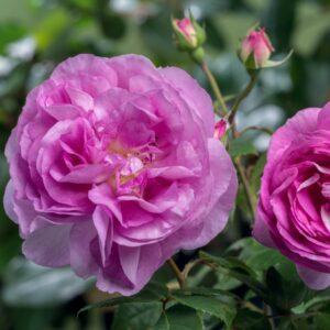 Роза Сапфир