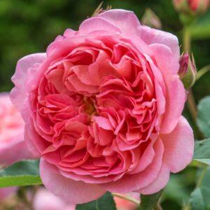Роза Боскобел