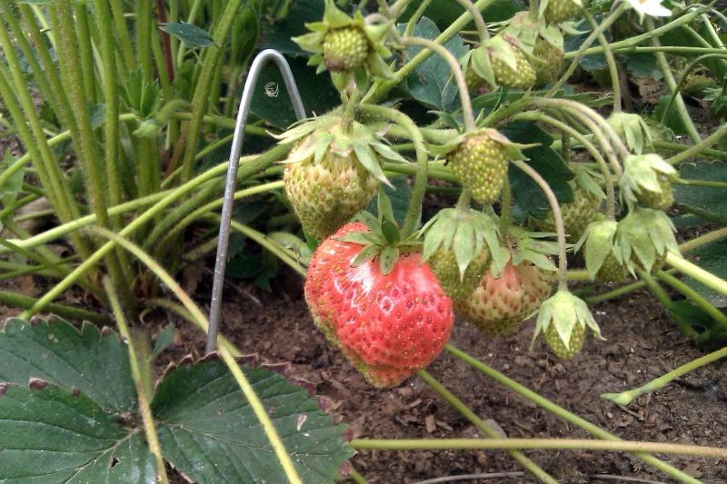 Клубника Холидей (Высокоурожайный сорт) ЗКС С1 (2)
