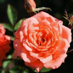 Роза Анжела Риппон