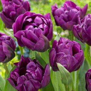 Тюльпан махровые Перпл Пион