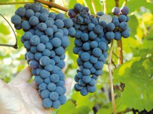 Виноград Амурский синий
