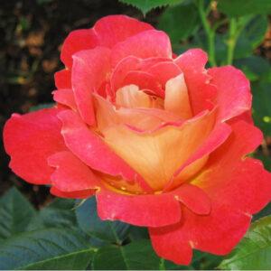 Роза Декор Арлекин