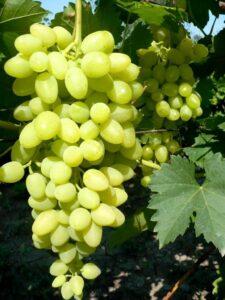 Виноград Осенний крупноплодный