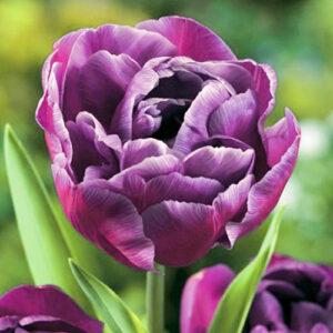 Тюльпан махровый Блю Даймонд