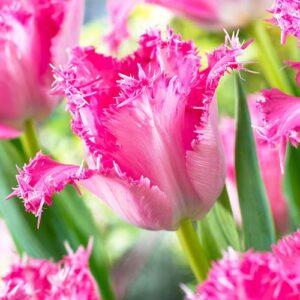 Тюльпан бахромчатый Сантандер