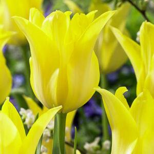 Тюльпан лилиецветный Баллада Голд