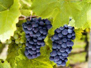 Виноград Молдавский