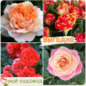 Комплект роз! Роза плетистая, спрей, чайн-гибридная и Английская роза в одном комплекте