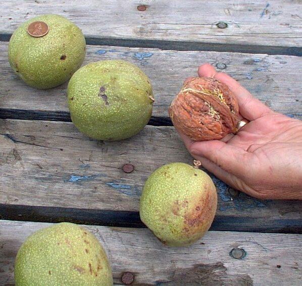 Грецкий орех Великан (2)