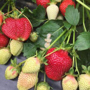 Клубника Румба (ранняя ягода)