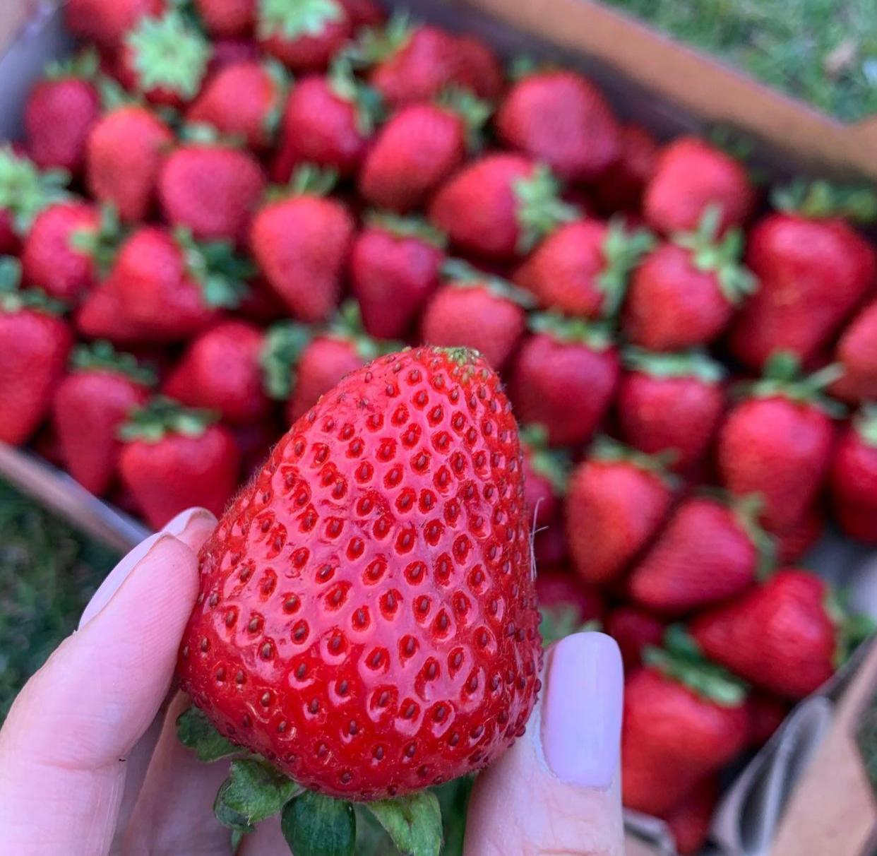 Клубника Румба (ранняя ягода) (2)